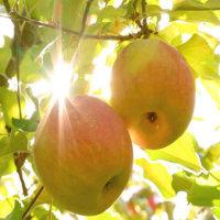Güneş elmayı tatland...