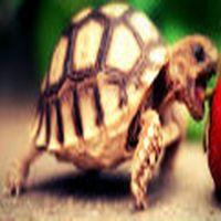 Kaplumbağa olmak ister...