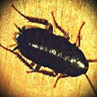 Kara böceklere neden ka...